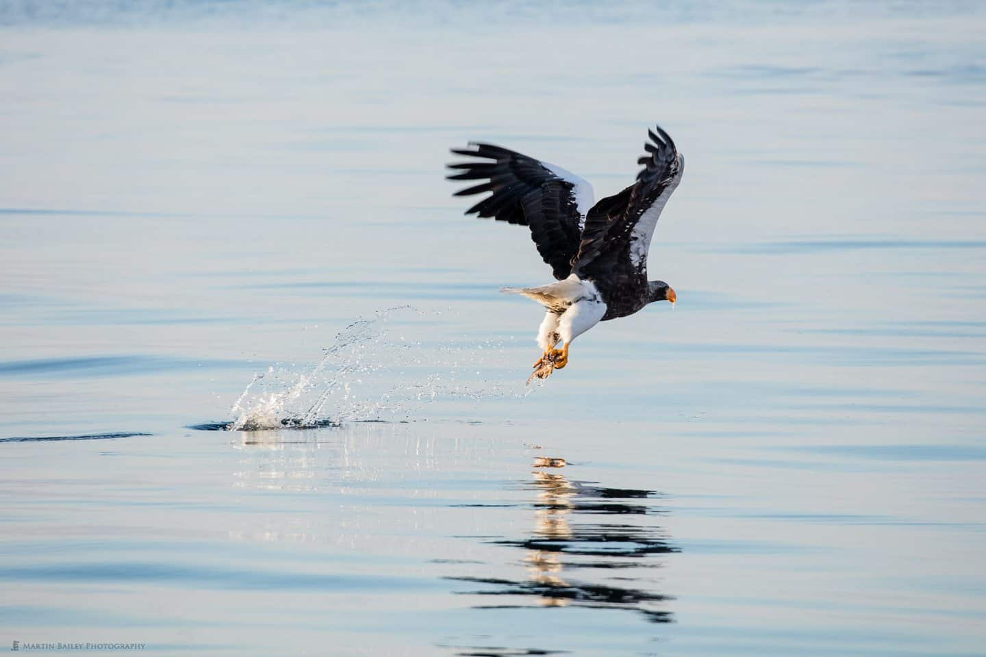 Steller's Sea Eagle Catching Fish from Calm Sea
