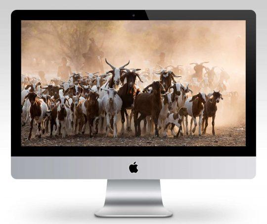 Himba Goat Herding Wallpaper Mockup