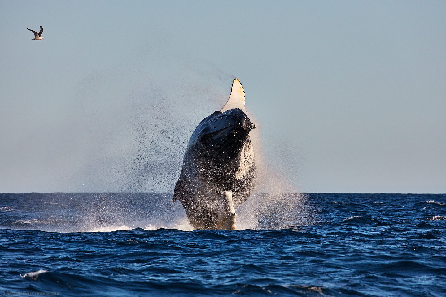 Breaching Humpback Whale - Front View