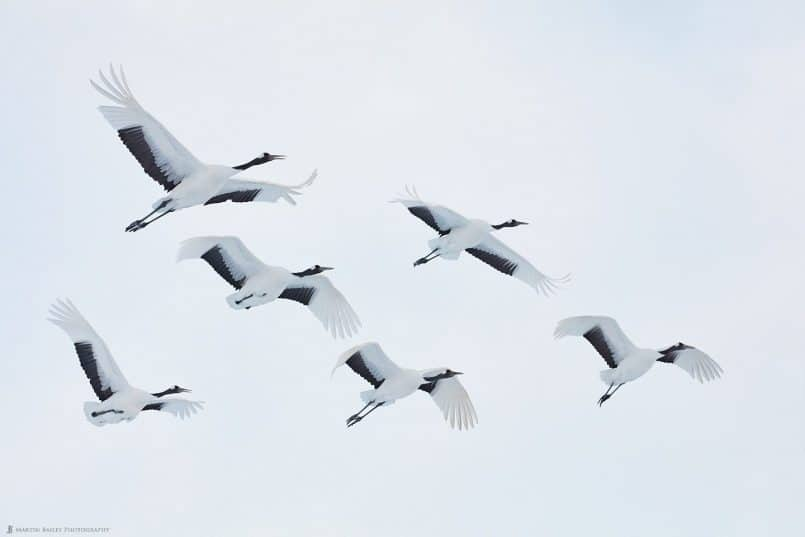 Six Adult Cranes in Flight