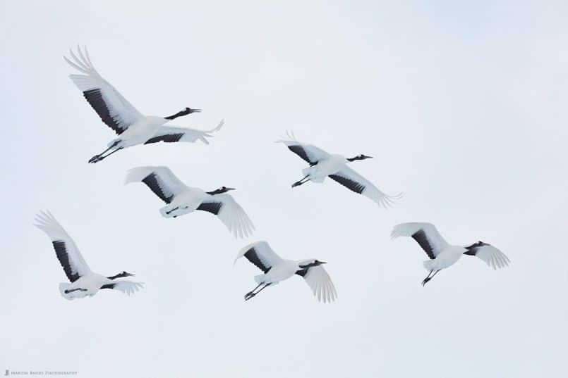 Six Adult Cranes in Flight