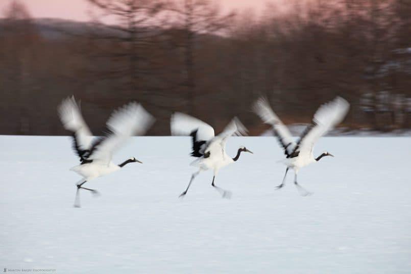 Three Cranes Taking Off