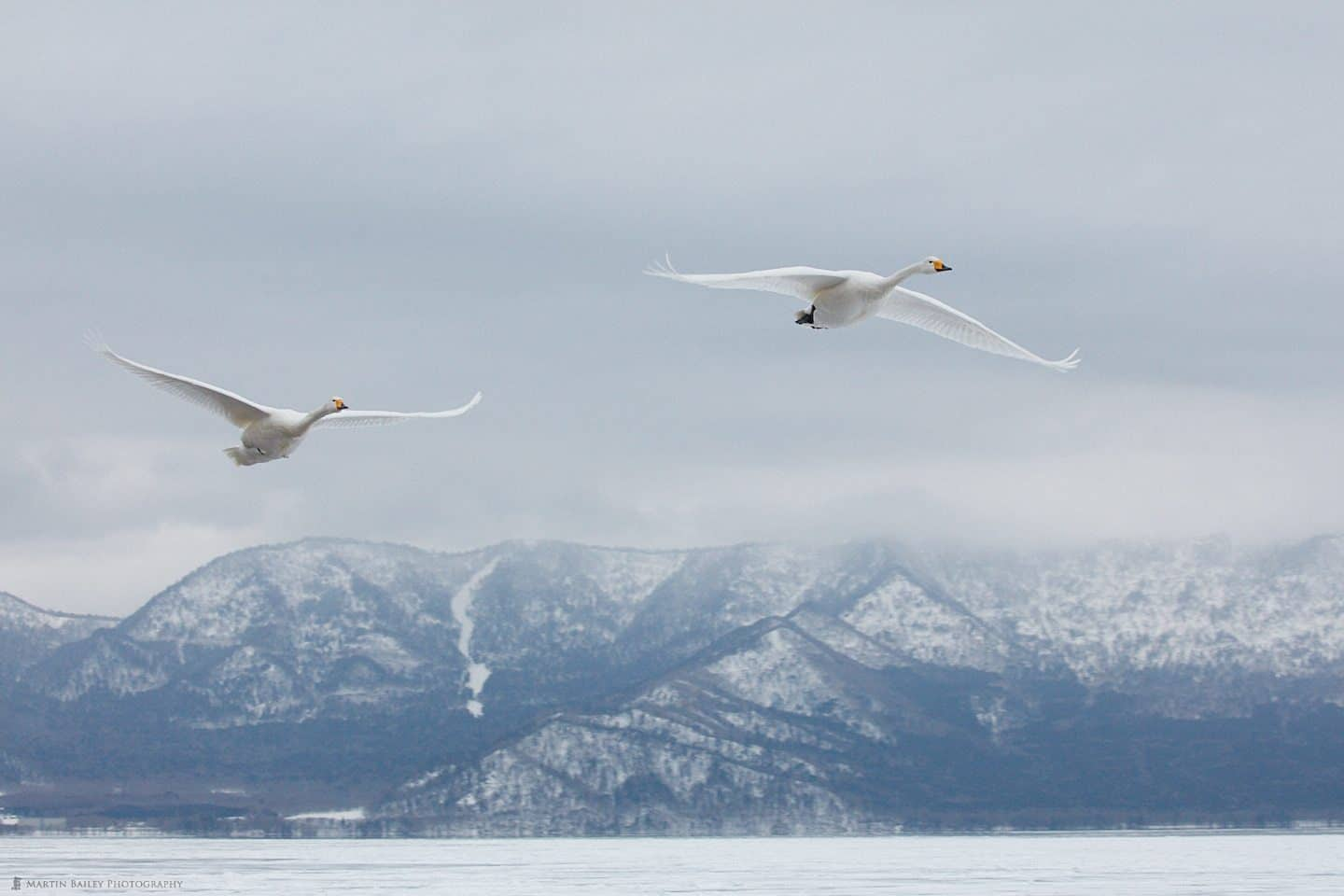 Whooper Swans Fly In