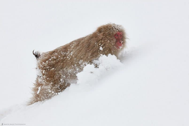 Snow Monkey Forging Through Deep Snow