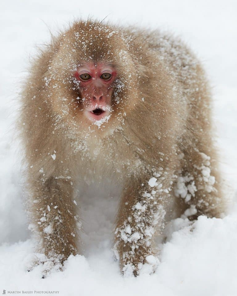 Snow Monkey's Arrest