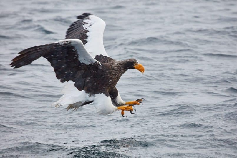 Steller's Sea Eagle with Talons Out