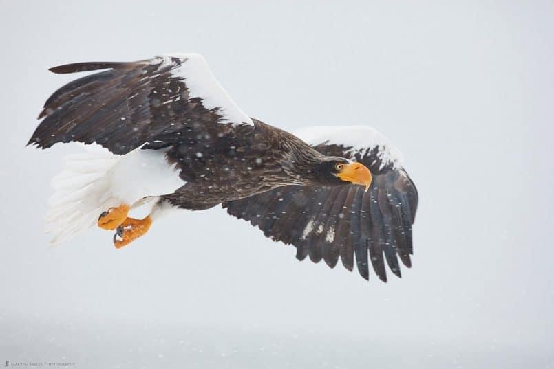 Steller's Sea Eagle Over Harbor Wall