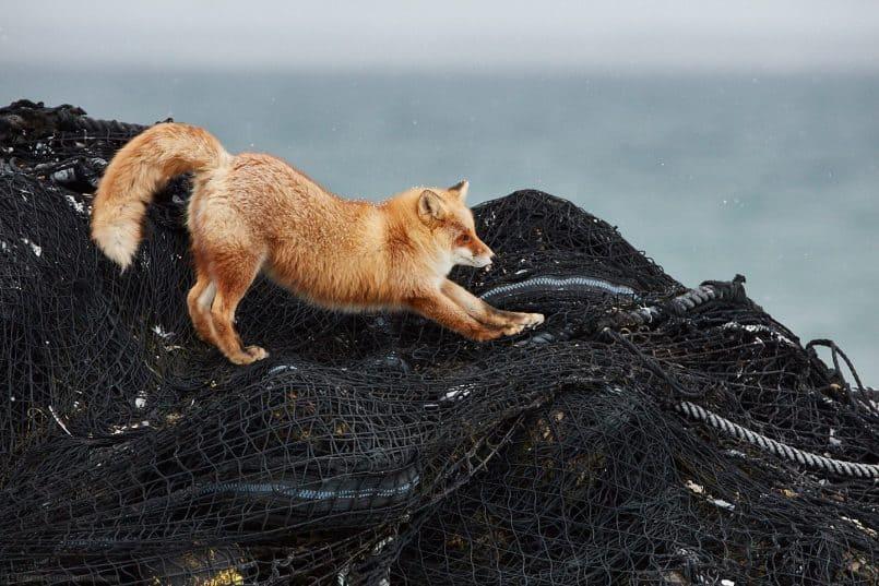 Ezo Fox Stretch