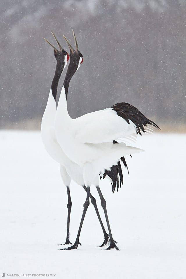 Calling Cranes