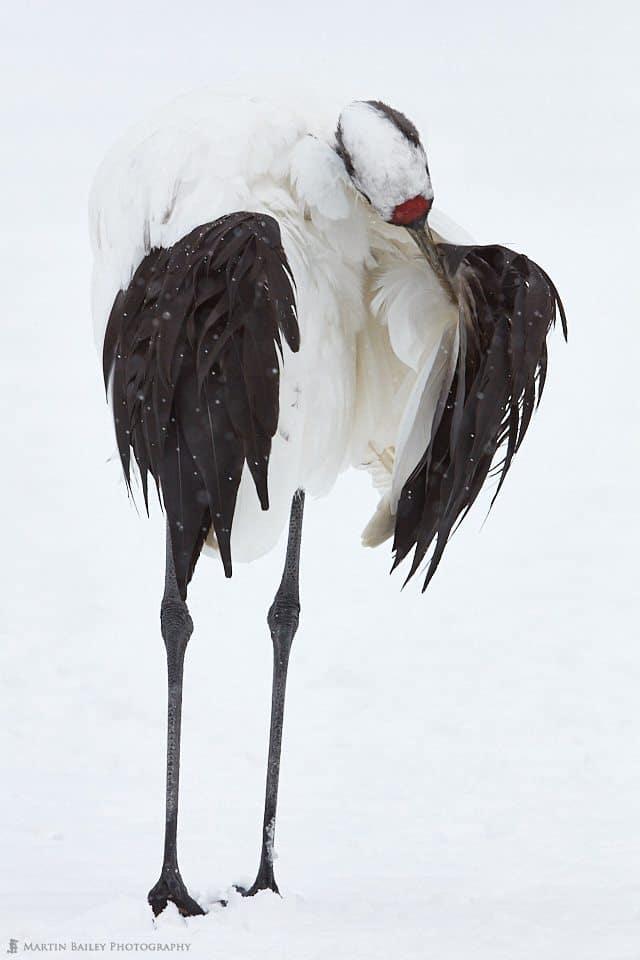 Crane Preening