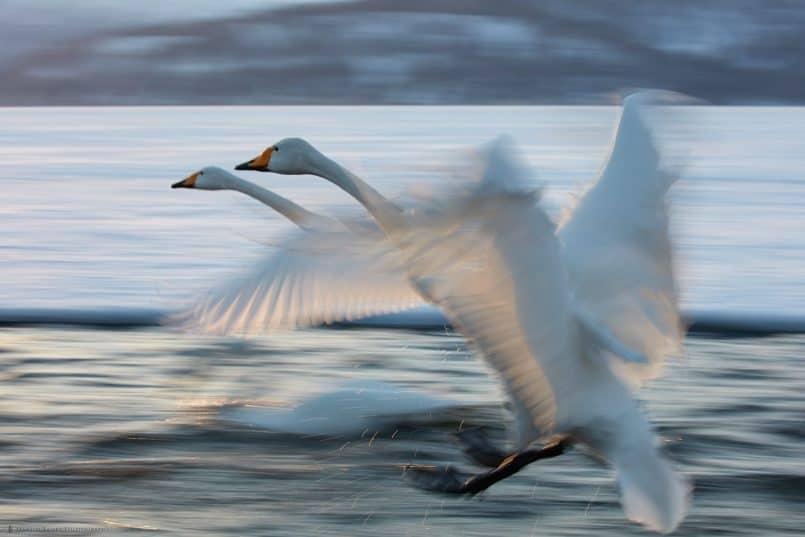 Whooper Swan Duet