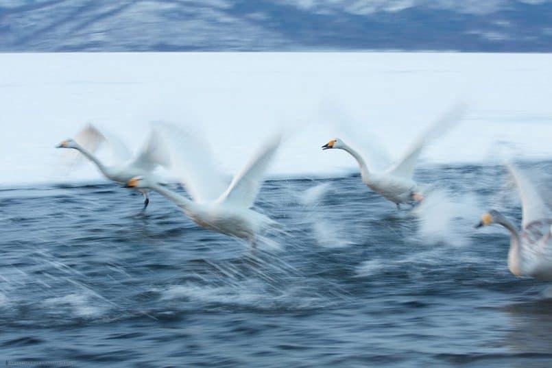 Swan Frenzy
