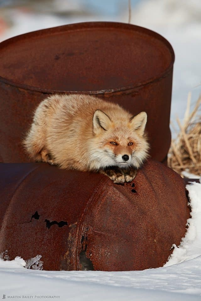 Oil Drum Fox