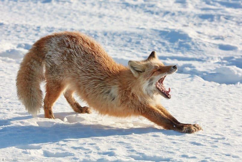 Foxes Yawny Stretch