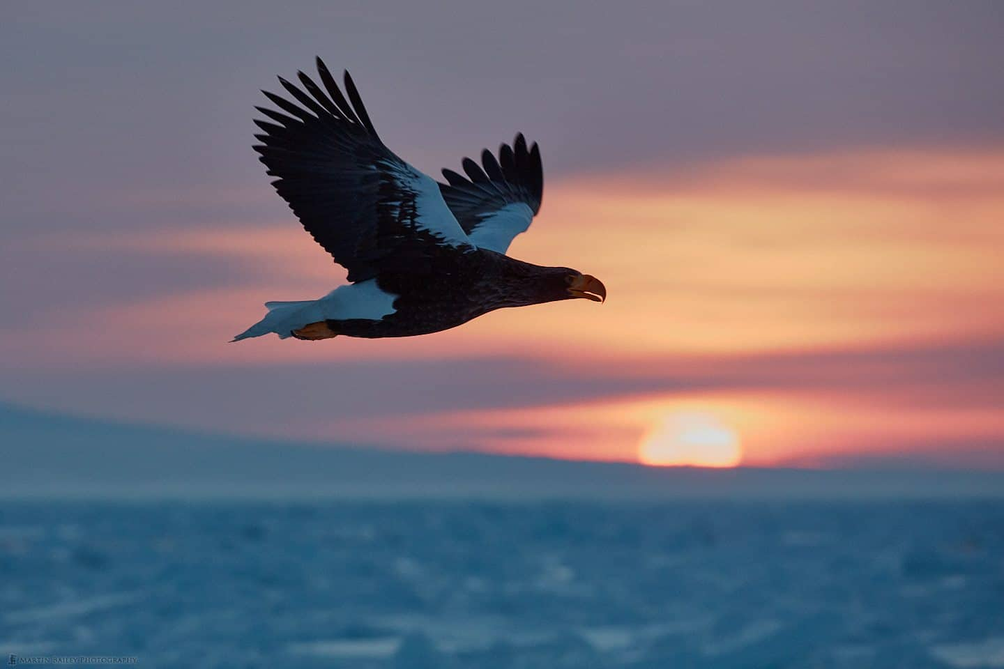 Steller's Sea Eagle at Sunrise