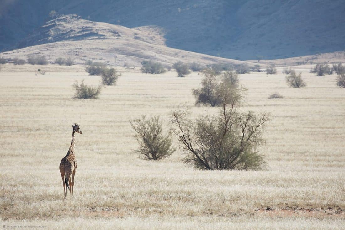 Giraffe on the Plain