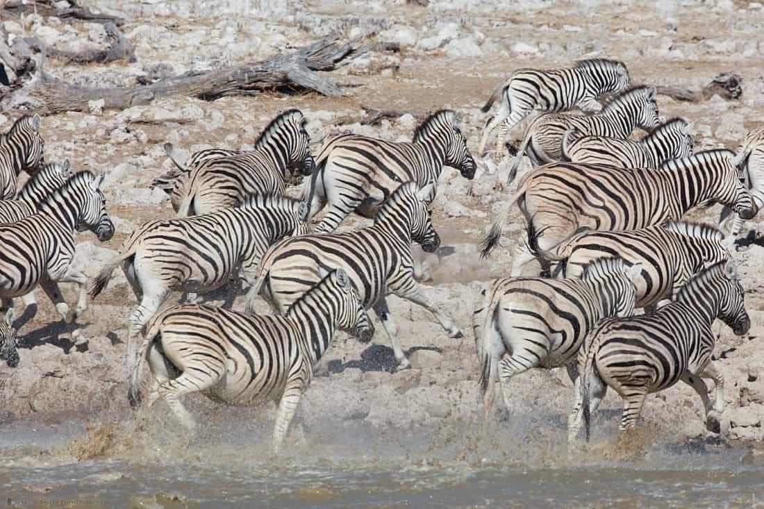 Zebras Fleeing Waterhole