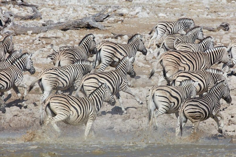 Zebras Fleeing Waterhole