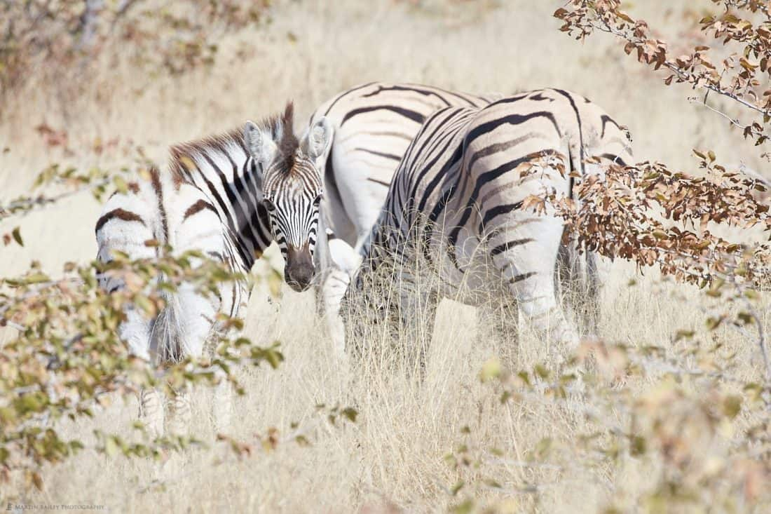 Zebra Through Long Grass