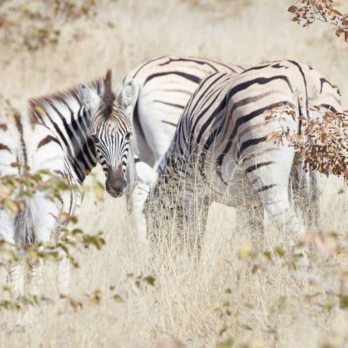 Zebra Through Long Grass