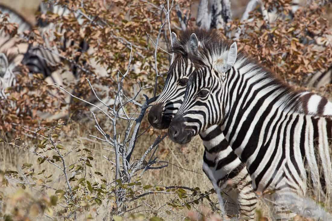 Two Juvenile Zebras