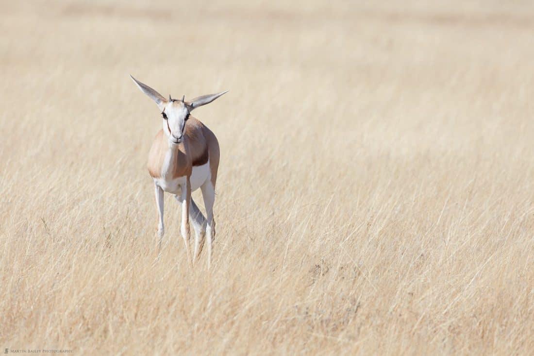 Juvenile Springbok in Long Grass