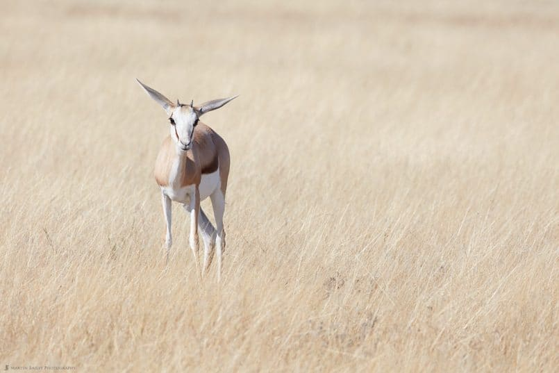 Juvenile Springbok in Long Grass