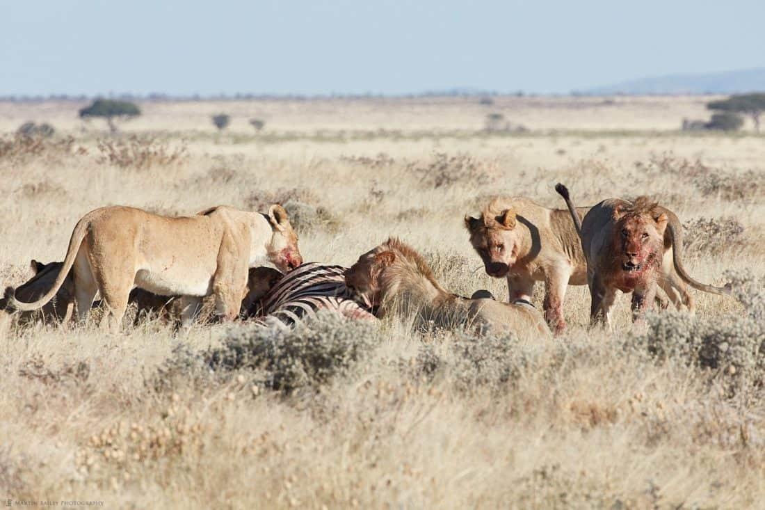 Lions Eating a Zebra