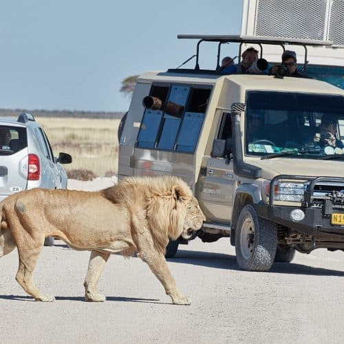 Lion in the Road