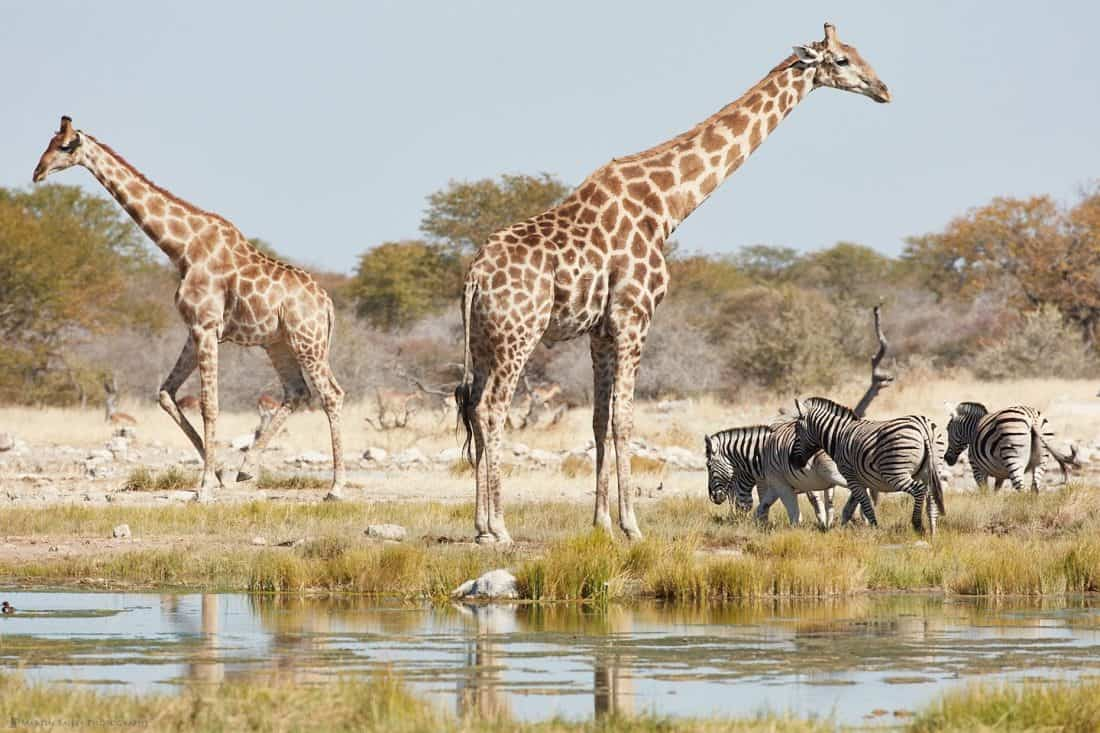 Giraffe and Zebra at Waterhole