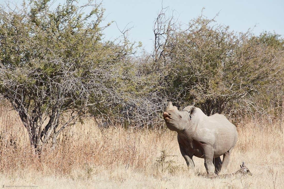 Black Rhino Flehming
