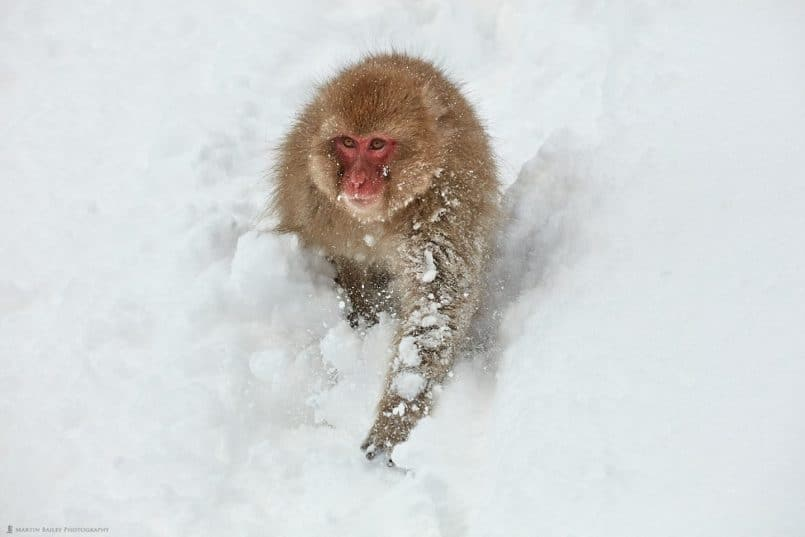 Snow Monkey Running Down Hill