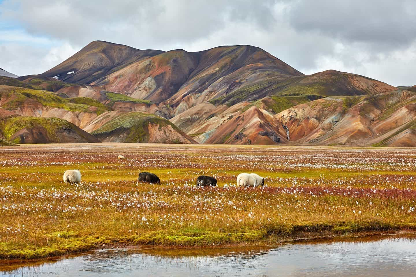 Landmannalaugar Sheep and Cotton Grass