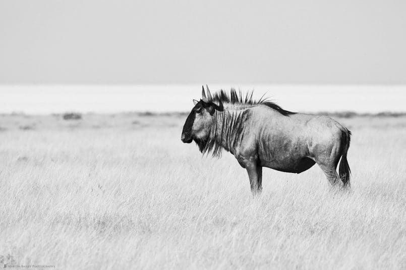 Lone Wildebeest on Plain