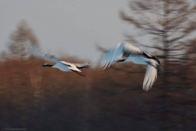 Crane Wings