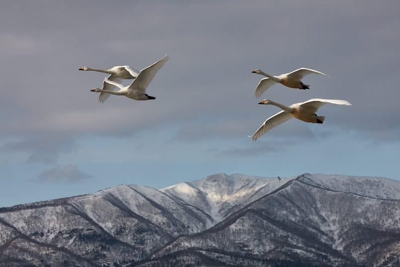 Two Pairs of Whooper Swans