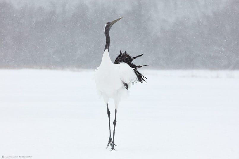 Posing Crane