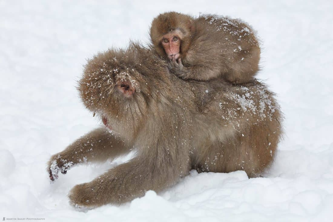 Snow Monkey Sucking Its Finger