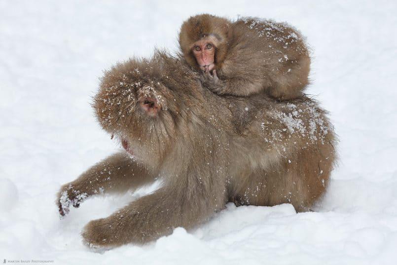 Snow Monkey Sucking Its Finger
