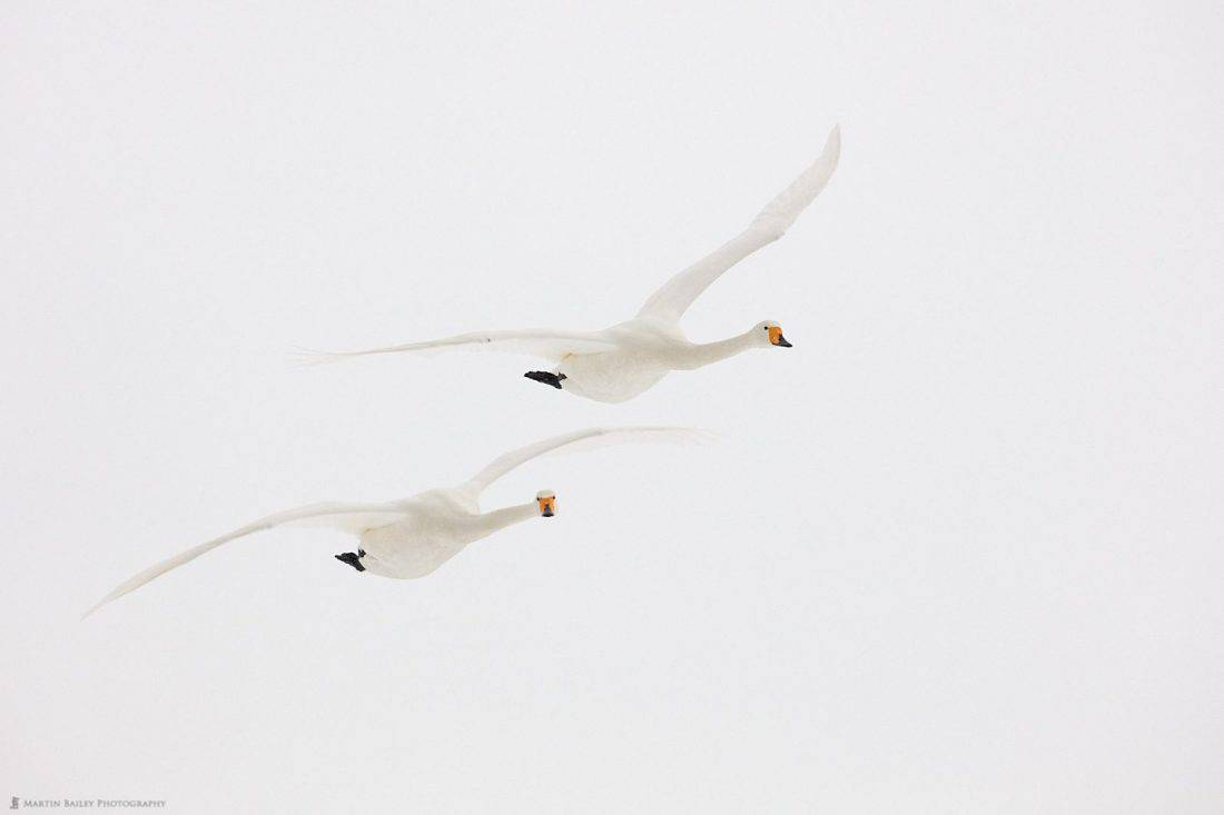 Whooper Swans In White