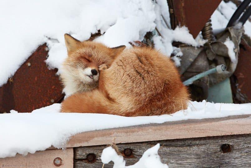 Fox Scratching Face