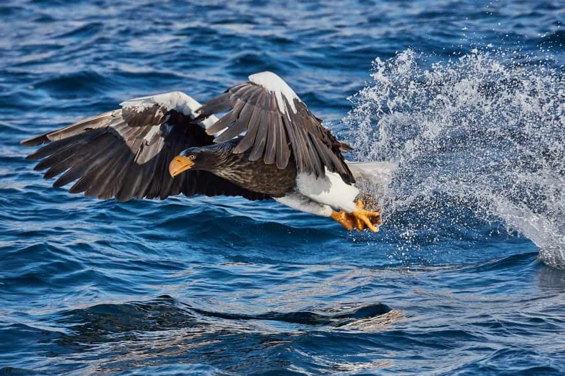 Steller's Sea Eagle Catch