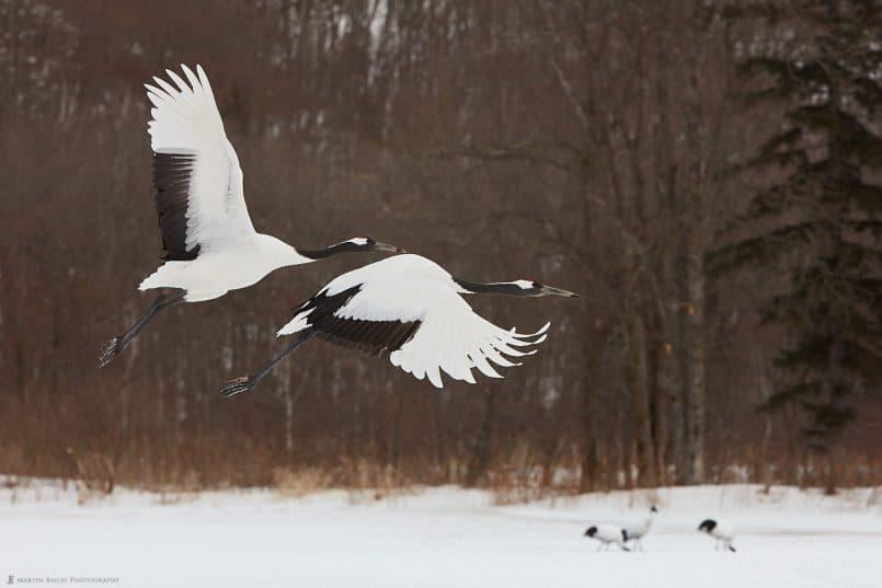 Two Crane's In Flight