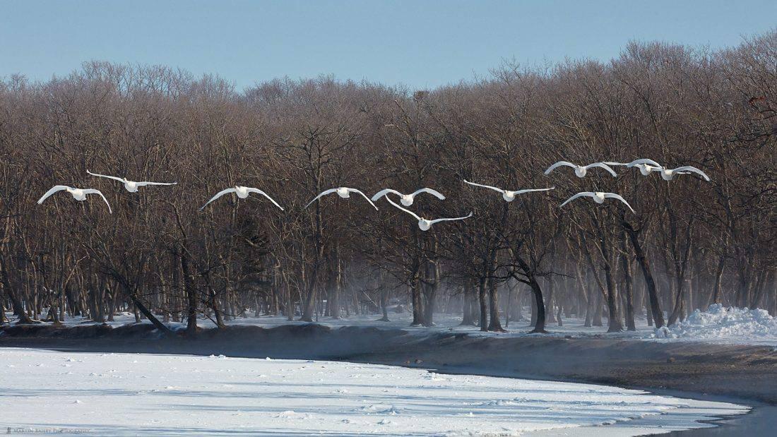 Twelve Swans Approach