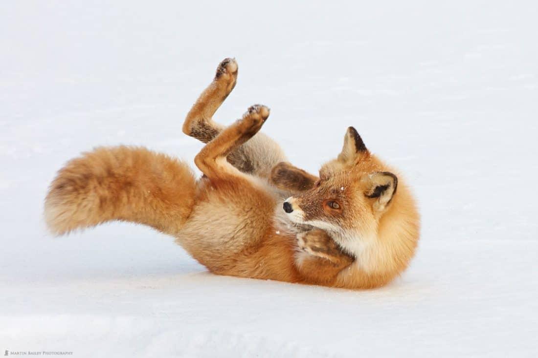 Rolling Fox
