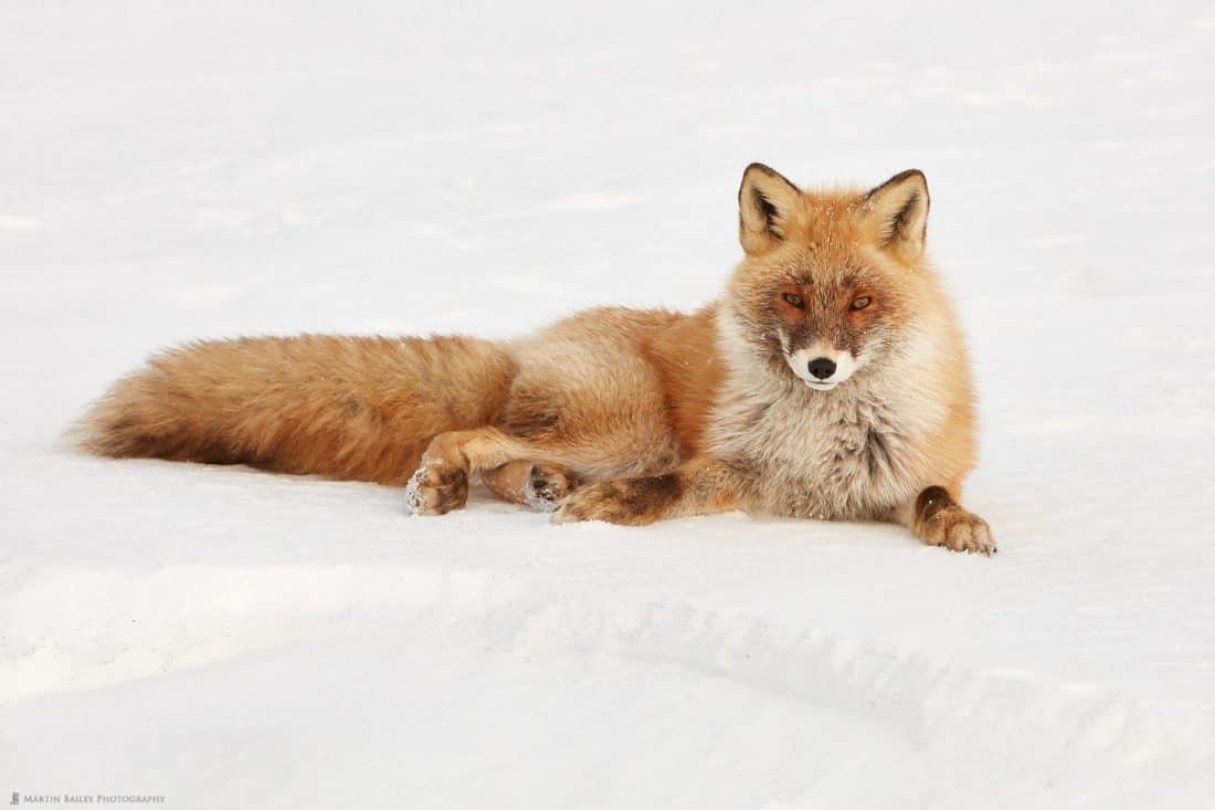 Foxy Model