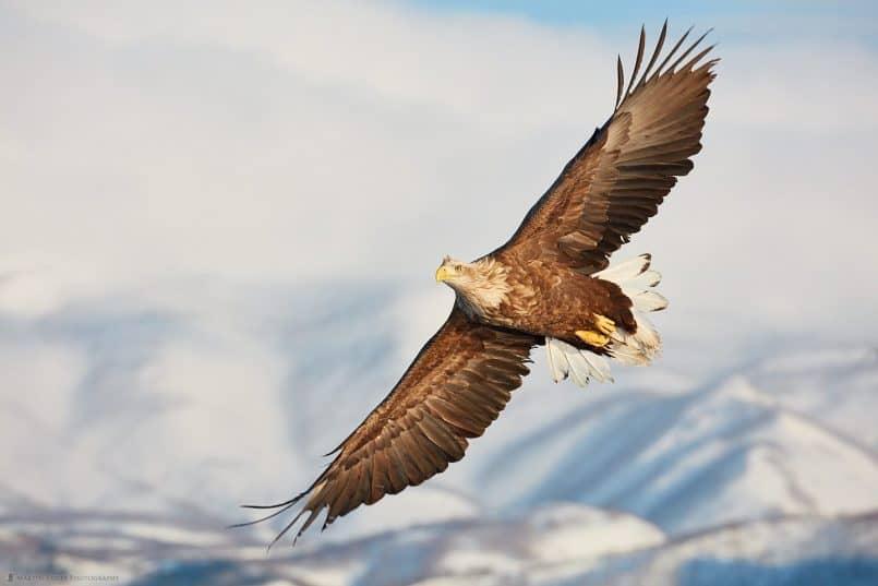 White-Tailed Eagle with Rausu Mountains