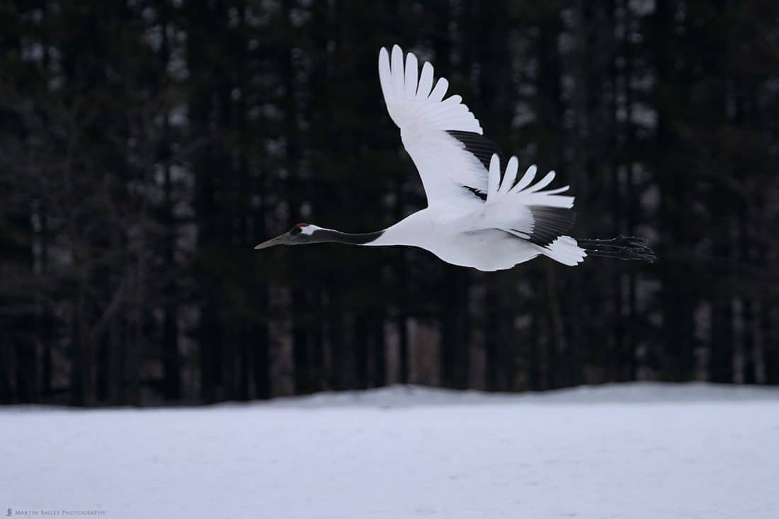 A Red=Crowned Crane in Flight (2004)