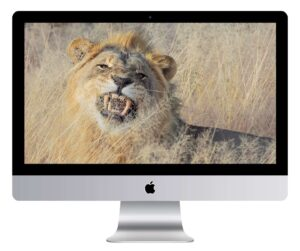 Lion's Fierce Yawn Wallpaper Mockup