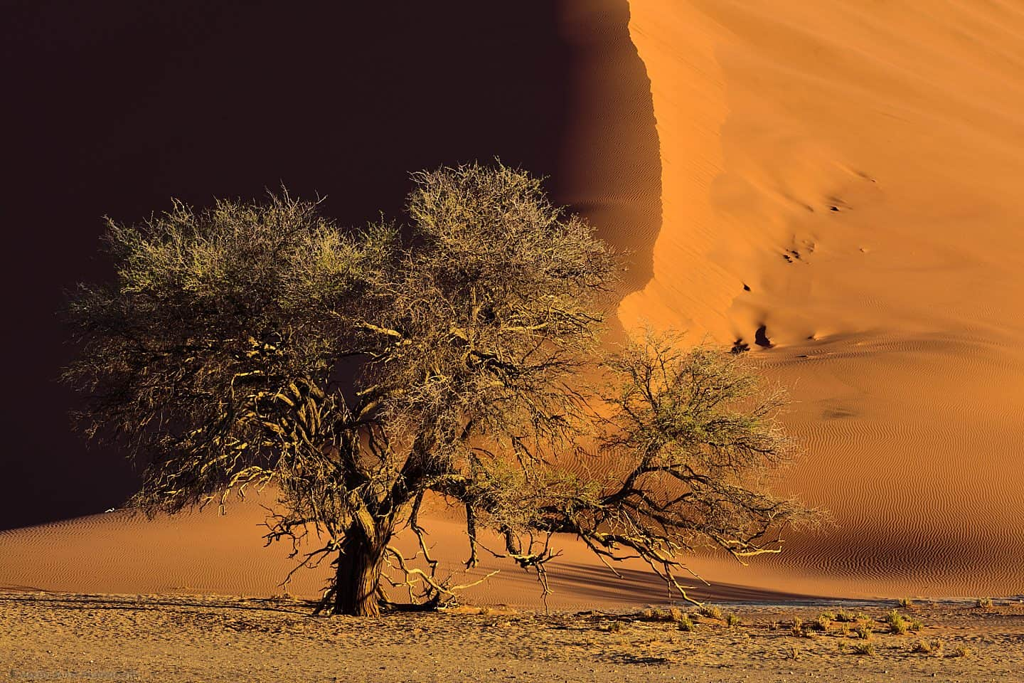 Dune 37 with Camelthorn Tree